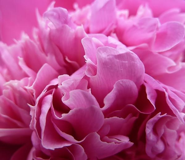 Peony petals by bobby55