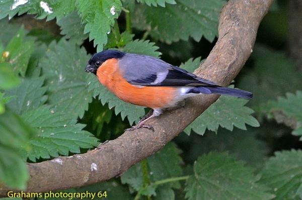 The Male Bullfinch by p147180r