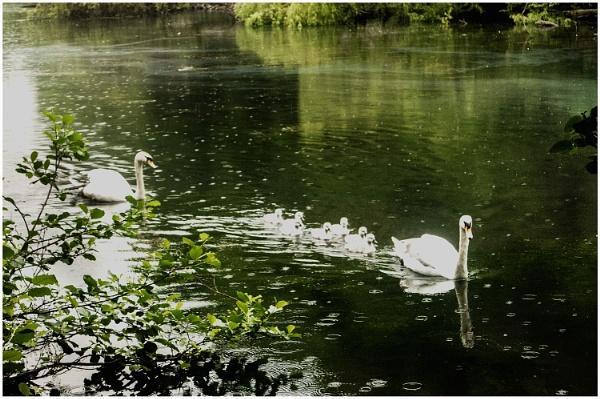 Swans on Blackford Pond by derekp