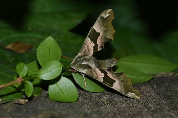 Lime Hawk Moth by ShaunsPics