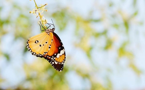 Butterfly by prabhuv