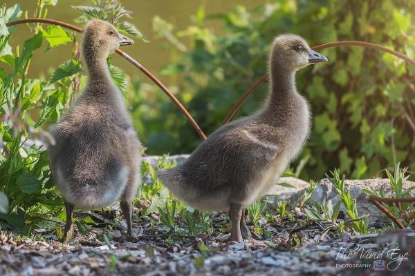 Goslings by MartinWait