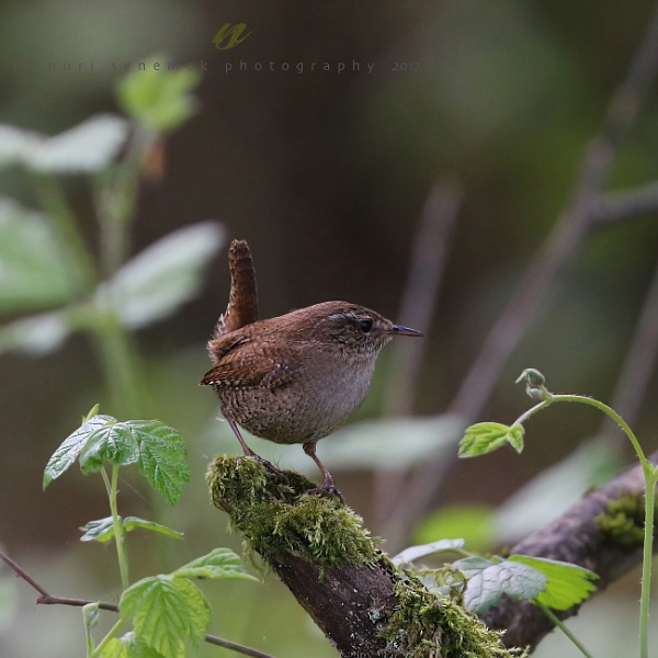 wren by senn