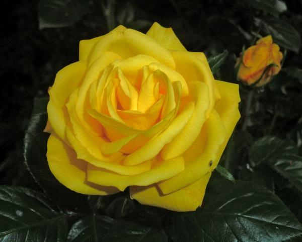 Rose by JuBarney
