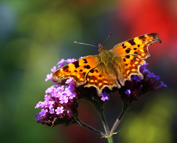 Comma Butterfly by georgiepoolie