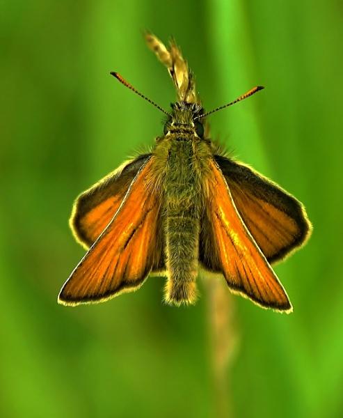 Skipper Butterfly by georgiepoolie