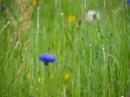 Cornflower Blue by kaybee