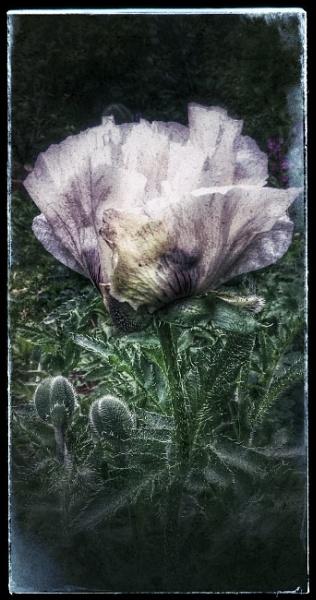 Poppy by Fernowl