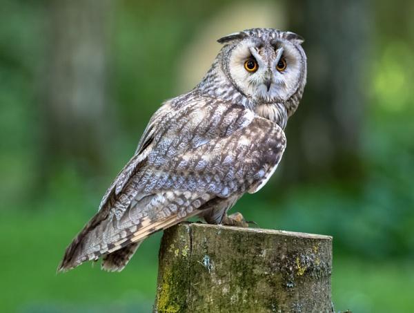 Eagle owl on a stump by Trekmaster01