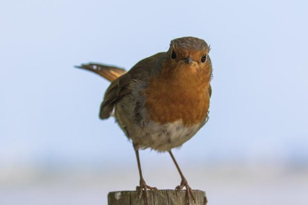 Grumpy Robin by Trekmaster01