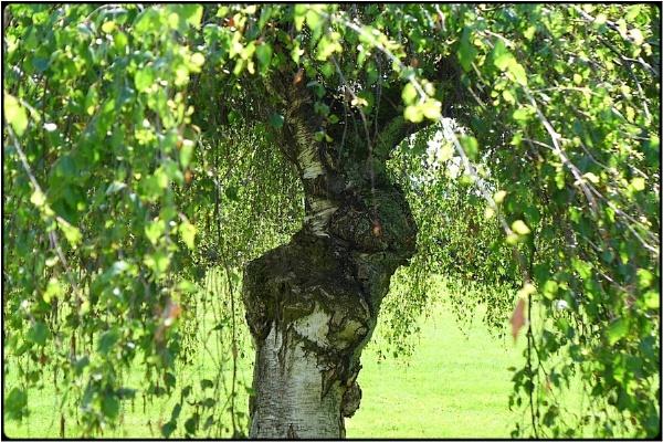 little birch by FabioKeiner