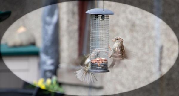 Two Garden Birds In Nuts Feeding Frenzy!