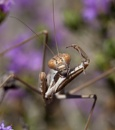 Praying Mantis by mattberry