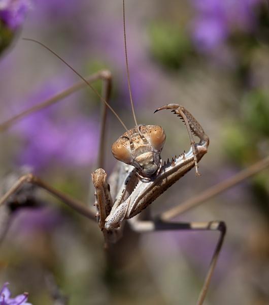 Praying Mantis by mattberry