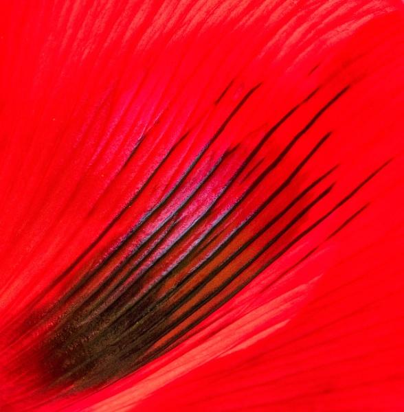 Poppy by Danny1970