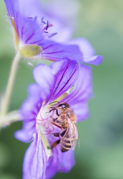 Bee in Geranium by Danny1970