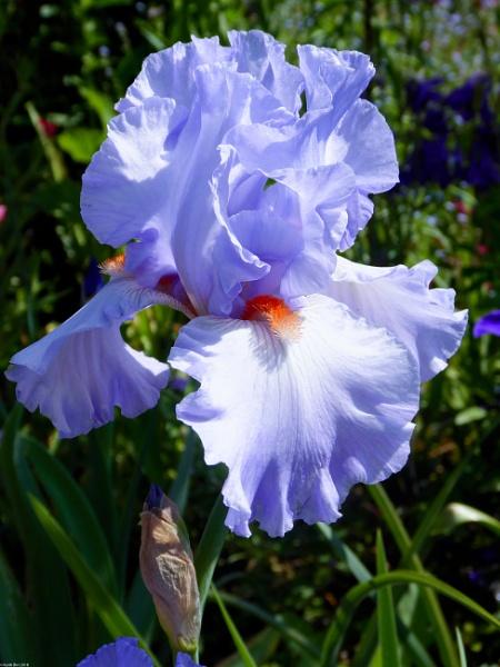 Iris by MadVillPics