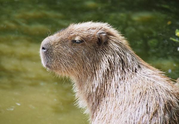 Capybara by DaveRyder