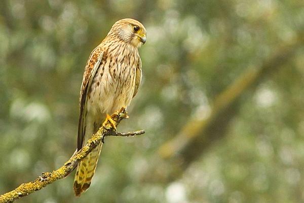 Kestrel Falco tinnunculus by bobpaige1