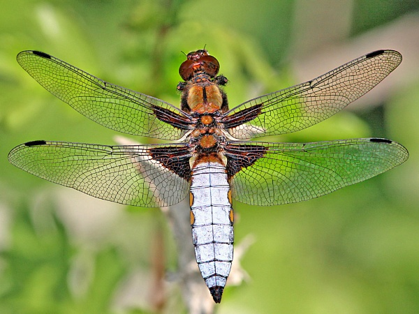 Broad-bodied chaser-Libellula depressa by bobpaige1