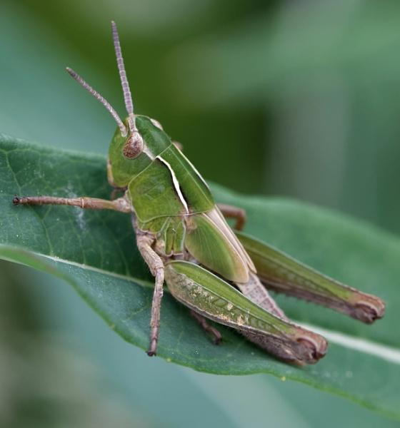 Common Green Grasshopper by Wanilson
