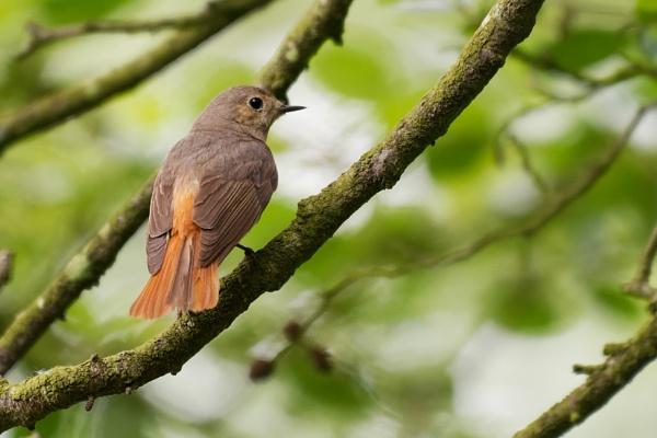 Female Redstart by Wanilson