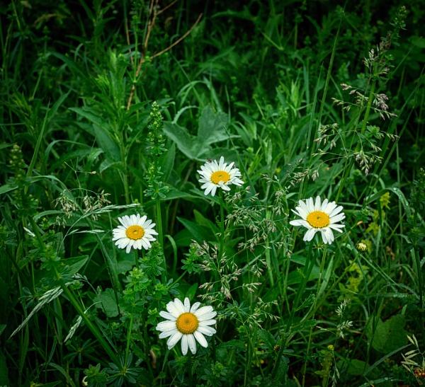 Ox-eye daisy by BillRookery