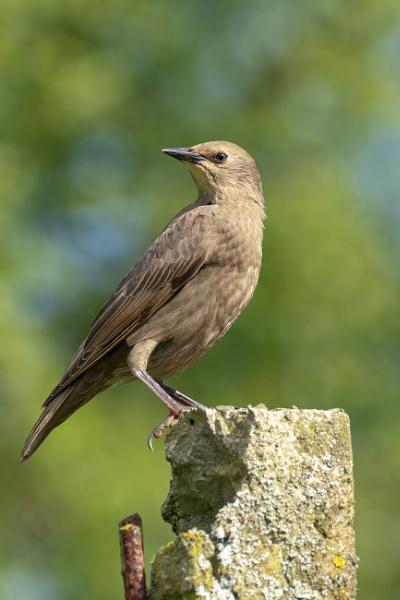 Juvenile Starling by kip55