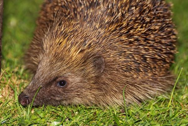 European Hedgehog - Erinaceus europaeus by kip55