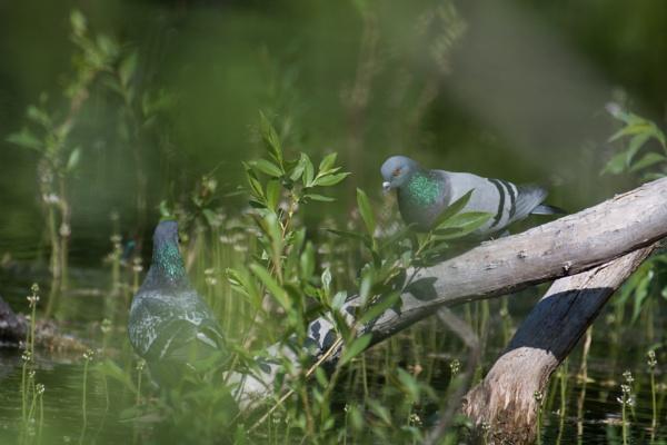 Common dove by EllerySneed