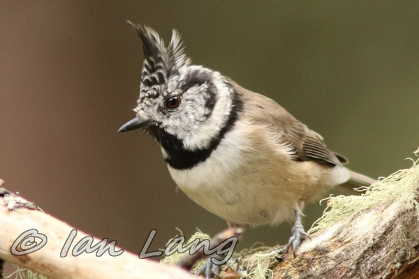 Crested tit by Denzoil