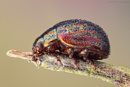Rosemary Leaf Beetle by SWMahy