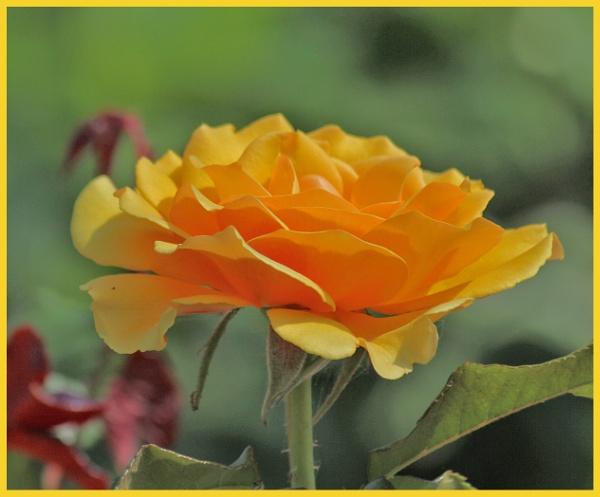 ONLY A ROSE by EMJAYCEE
