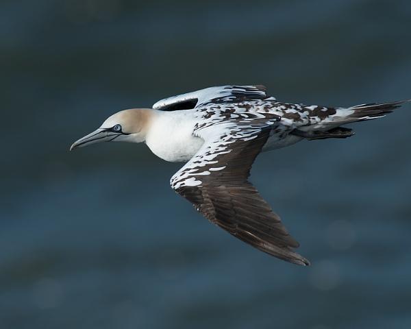 Gannet   ( juvenile )