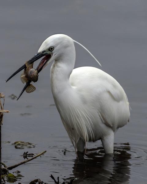 Little Egret by AlanWillis