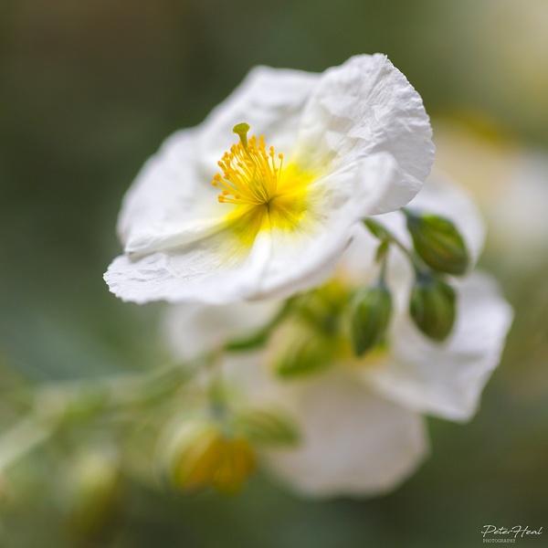 Delicate Flower by Scooby10