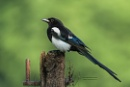 Magpie by Louise_Morris