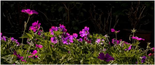 geraniums by derekp