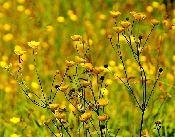 Yellow meadow by georgiepoolie