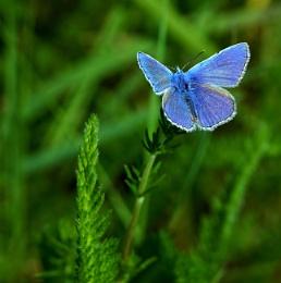 Common blue 2