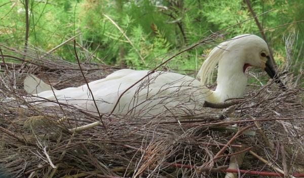 Egret nesting ... by ddolfelin