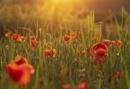 Poppy Field by mommablue