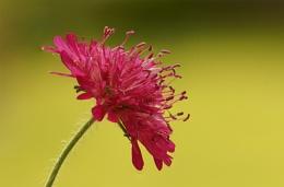 Red Scabiosa columbaria