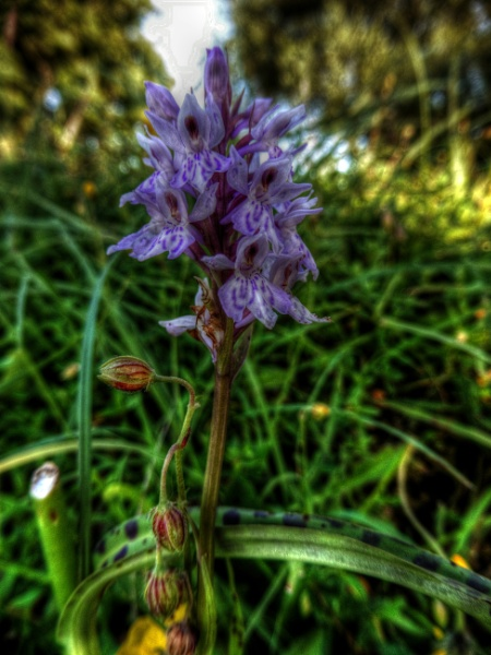 Greater Spotted Orchid