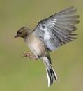 Female Chaffinch by Holmewood