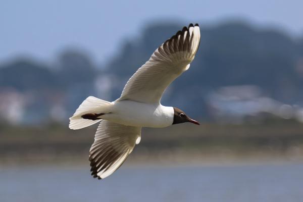 Black headed gull in flight by Trekmaster01