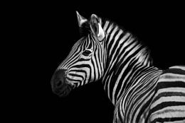 King of stripes.