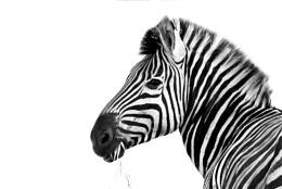 Zebra with white background