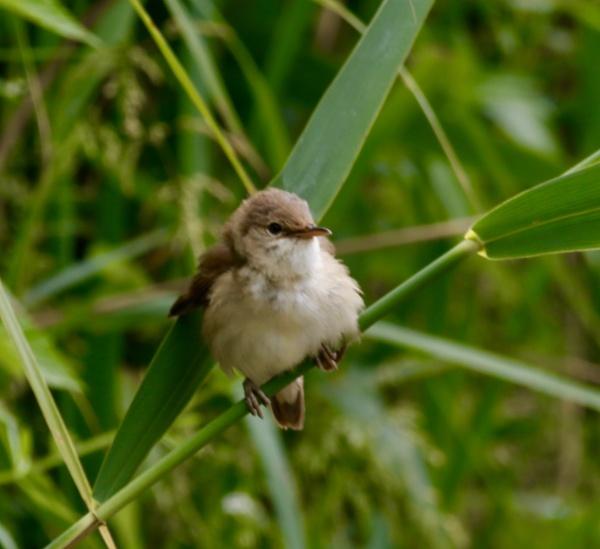 Willow warbler by Lencollard