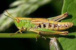 Meadow Grasshopper-Chorthippus parallelus